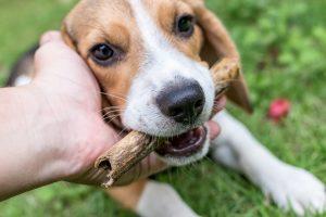 Le Beagle est-il fait pour vous ?